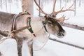 Reindeer Sleigh Ride in Lapland Royalty Free Stock Photo