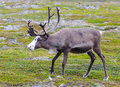 Reindeer spotted on the way to cape north Stock Photo
