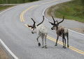 Reindeer walking in road down empty finland Royalty Free Stock Images