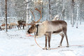 Reindeer in winter, Lapland Finland Royalty Free Stock Photo