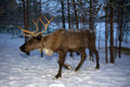 Reindeer are in the woods during the polar night Royalty Free Stock Photo