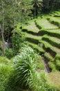 Reisfelder Stockfotografie