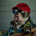 Bulldog dressed in a wicker chair Royalty Free Stock Photo