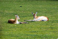 Relax on grass relaxing a in zoo Stock Photography