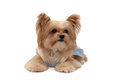 Relaxation pose cute mixed breed dog in looking up isolated in white back ground with clipping path Royalty Free Stock Photos