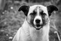 Relaxed dog black and white picture of a with a expression Stock Photography