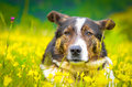 Relaxed dog standing in a flowers field Stock Image