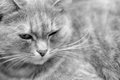 Relaxed fluffy cat a black and white shot of a adult Royalty Free Stock Photo
