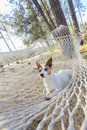 Relaxed jack russell terrier relaxing in a hammock among the pine trees Stock Photos
