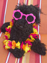 Relaxin on a beach chaise poodle in lei and polka dot sunglasses relaxing striped Stock Photography