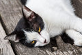 Relaxing cat on floor asian black and white with yellow eyes Royalty Free Stock Photo
