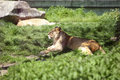 Relaxing lioness in the zoo a Stock Image
