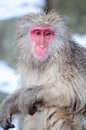 Relaxing monkey stock image in a natural onsen hot spring located in snow nagono japan Royalty Free Stock Photography