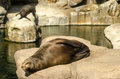 Relaxing sea lions a pair of in the sun Stock Image