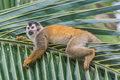 Relaxing squirrel monkey Royalty Free Stock Images