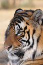Relaxing Tiger Royalty Free Stock Images