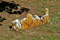 Relaxing tiger is in the grass Stock Photos