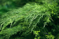 Relict green shrub close up, greenery nature background Royalty Free Stock Photo