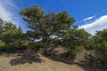 Relict juniper tree crimea in the crimean mountains Royalty Free Stock Images