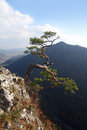 Relict pine on sokolica peak symbol of pieniny mountains Stock Photo