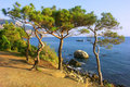 Relict pine tree on the beach Stock Images