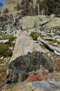 Remains of the dead tree in the mountain slope