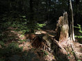 Remains of a tree splintered stump and other rotting in the light the sun in the middle dark wood Royalty Free Stock Photos