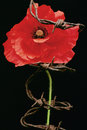 Remembrance day poppy metaphor a for in the uk and europe the represents the blood spilt extensively and the lives lost on the Stock Photos
