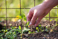 Removing weeds by hand in a garden Stock Image