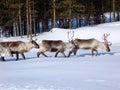 image photo : Reindeers