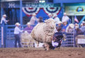 Reno rodeo usa june a boy riding on a sheep during a mutton busting contest at the a professional held in nevada Royalty Free Stock Photo
