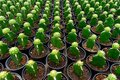 Repetition of cactus Royalty Free Stock Photo