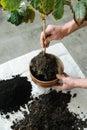 Replanting houseplant. Royalty Free Stock Photo