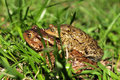 Reproduction of toads male and female on the grass spring Stock Images