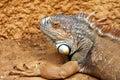 Reptil Royaltyfri Bild