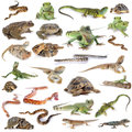 Reptile and amphibian in front of white background Stock Images