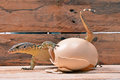 Lizard and an eggshell Royalty Free Stock Photo