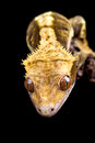 Reptile close up on black background with copy space Stock Photo