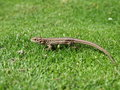 Reptile lizard Stock Photography