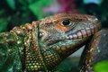 Reptile portrait close up shot of Royalty Free Stock Photos