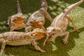 Reptiles competing for food pogona vitticept biting each other green background Stock Photos