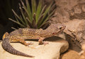 Reptiles live wild lizards shot close up in nature Royalty Free Stock Photo