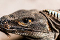 Reptilian head close up picture of Royalty Free Stock Photo