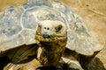 Reptilian pride a muddy galapagos tortoise at a reptile zoo in pennsylvania usa Stock Photos
