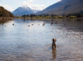 Requesting permission to cause havoc springer spaniel in lake surrounded by mountains with ducks and black swans Stock Photos