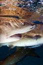 Requins de citron Photographie stock libre de droits
