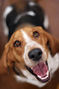 Rescue Basset Hound looking up Royalty Free Stock Images
