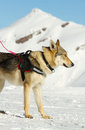 Rescue dog on snow mountain Stock Photo