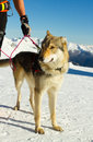 Rescue dog on snow mountain Stock Photography