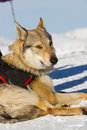 Rescue dog on snow mountain Stock Image